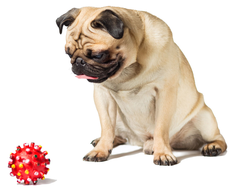 male pug dog isolated on white with red ball toy