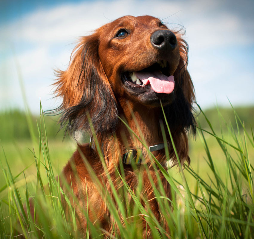 Image of a dog happily sitting in a field.